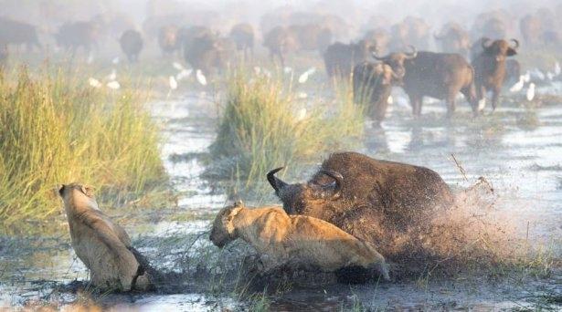 Aslanların amansız av mücadelesi 9