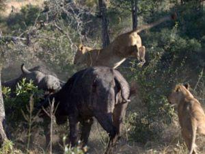 Aslanların amansız av mücadelesi