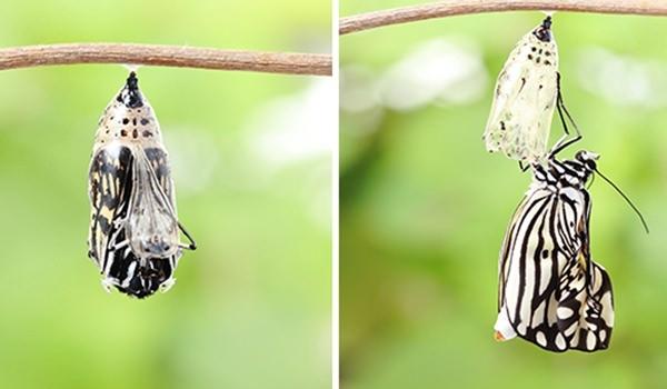 Hangi kelebek kaç gün yaşıyor? 1