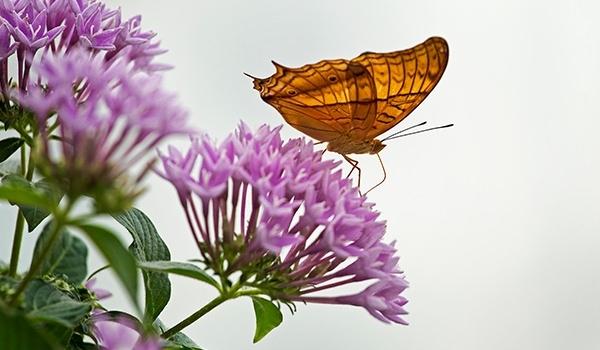 Hangi kelebek kaç gün yaşıyor? 10