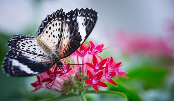 Hangi kelebek kaç gün yaşıyor? 11