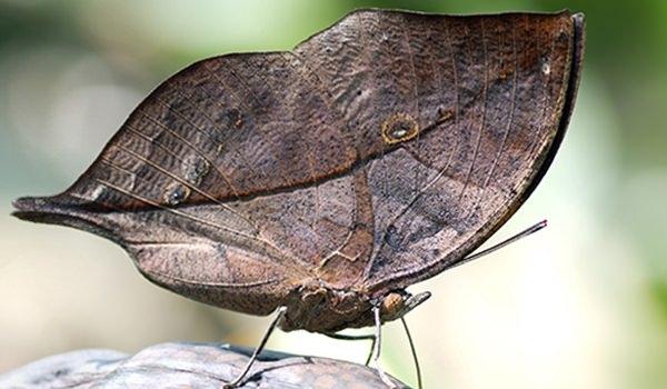 Hangi kelebek kaç gün yaşıyor? 2