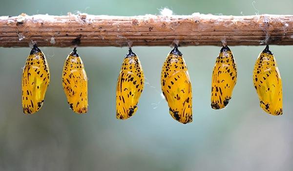 Hangi kelebek kaç gün yaşıyor? 3