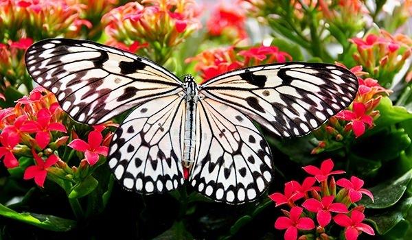 Hangi kelebek kaç gün yaşıyor? 4