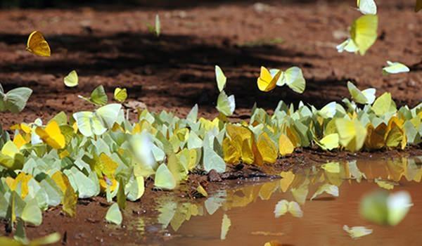Hangi kelebek kaç gün yaşıyor? 5