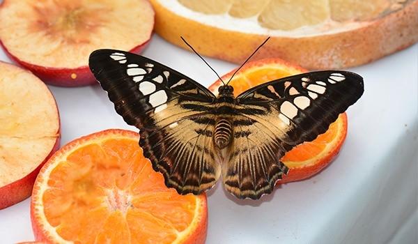 Hangi kelebek kaç gün yaşıyor? 6