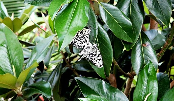 Hangi kelebek kaç gün yaşıyor? 9