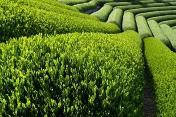 Çaydan gelen büyük mucize 5