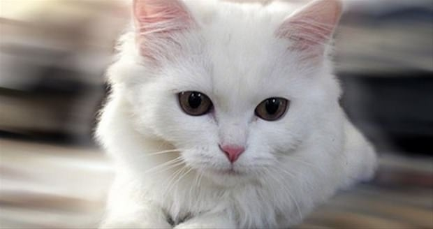 İslam'da kedinin yeri 31