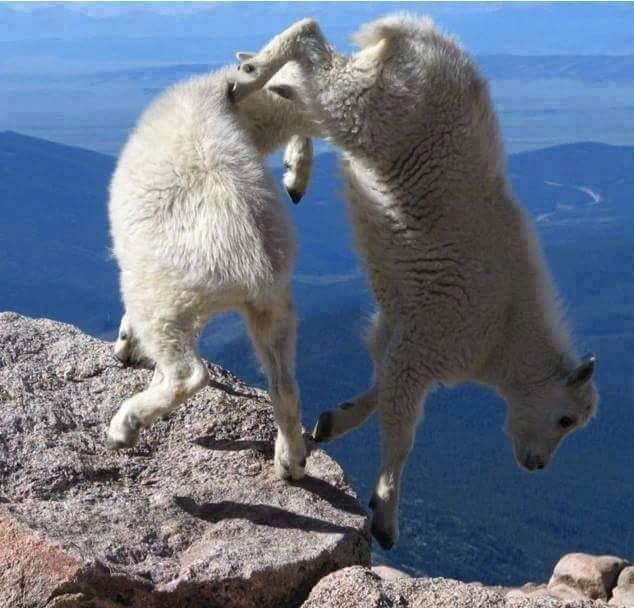 Bu keçiler gerçekten inanılmaz! 1