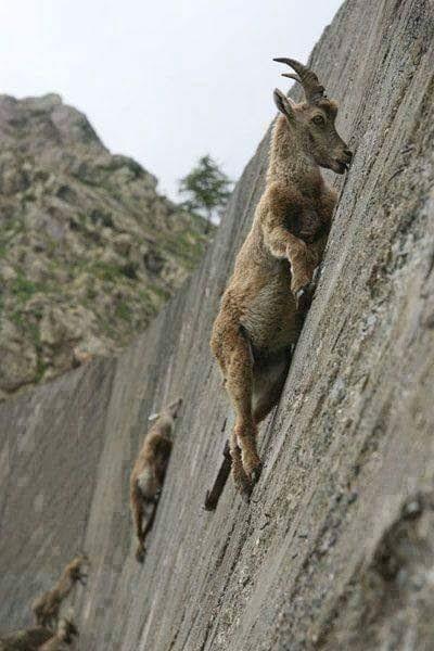 Bu keçiler gerçekten inanılmaz! 10