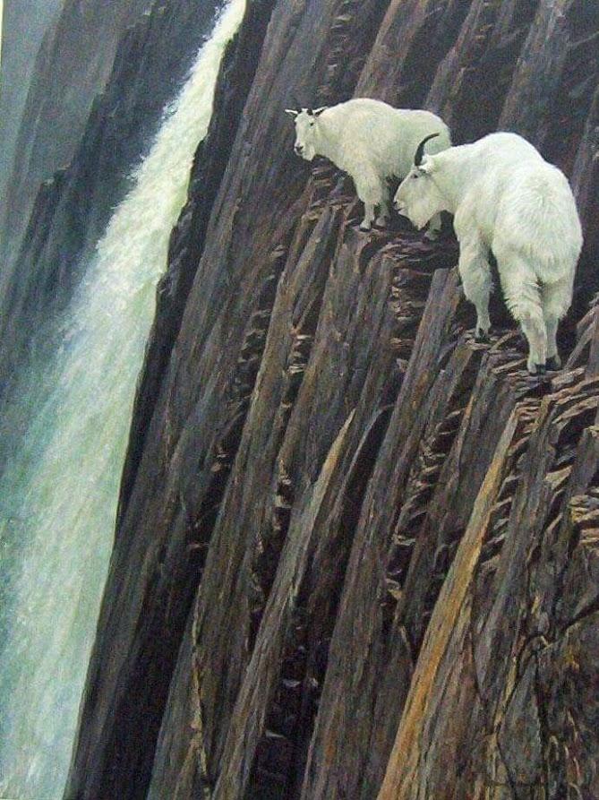 Bu keçiler gerçekten inanılmaz! 2