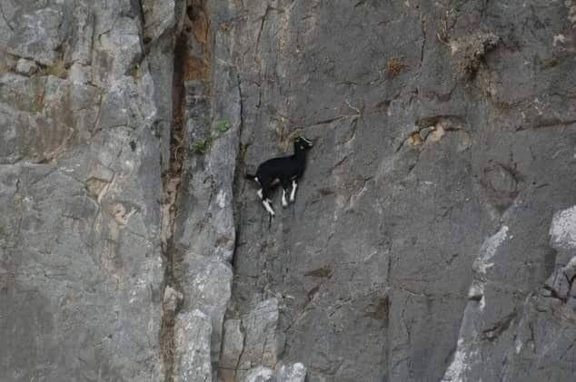 Bu keçiler gerçekten inanılmaz! 3