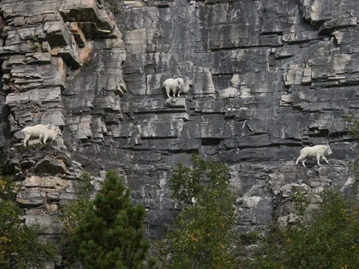 Bu keçiler gerçekten inanılmaz! 4