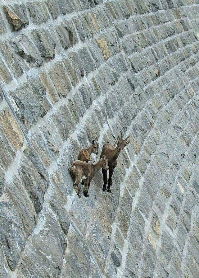 Bu keçiler gerçekten inanılmaz! 6