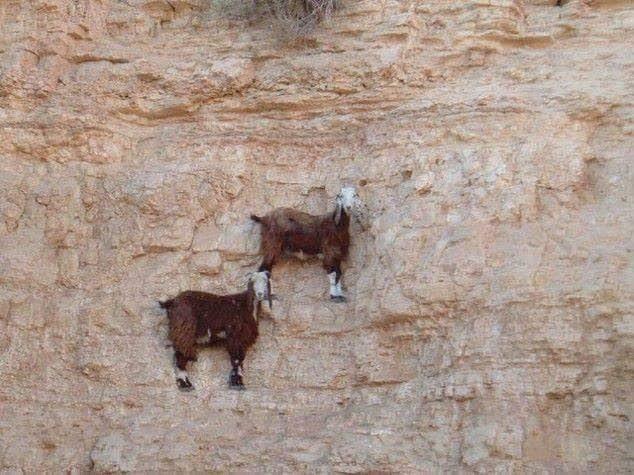 Bu keçiler gerçekten inanılmaz! 8