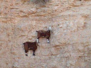 Bu keçiler gerçekten inanılmaz!