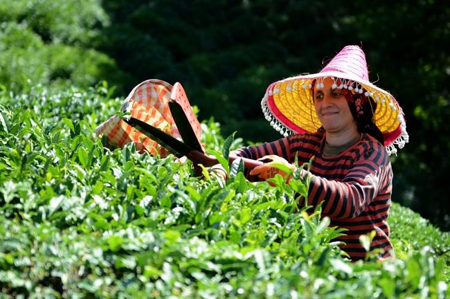 """Çayın bahçeden demliğe """"zorlu"""" yolculuğu 1"""