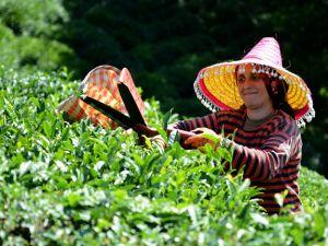 """Çayın bahçeden demliğe """"zorlu"""" yolculuğu"""