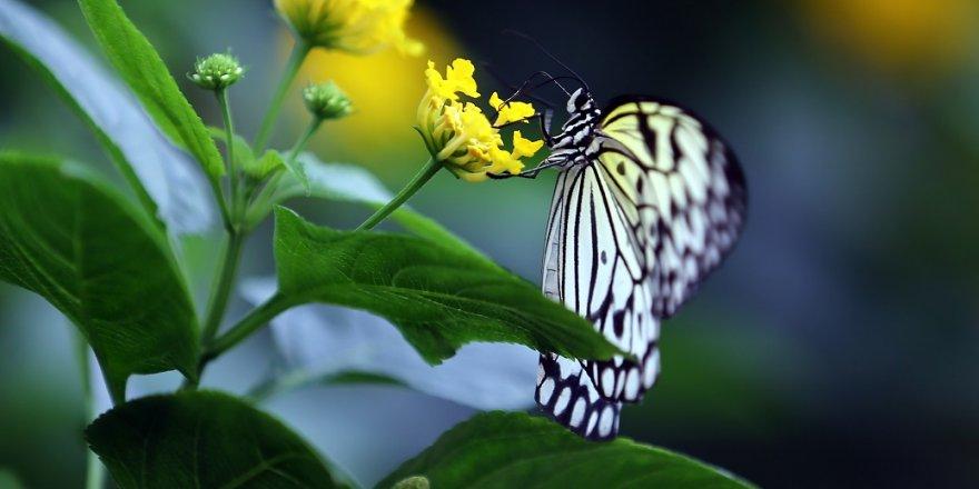 """""""Aşkın Kanatları"""" Tropikal Kelebek Bahçesi"""