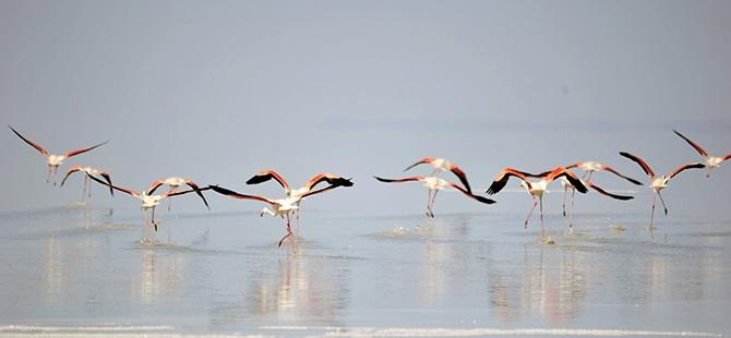 Binlerce flamingo kuluçkadan çıktı 11