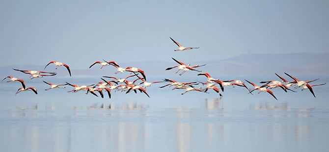 Binlerce flamingo kuluçkadan çıktı 12