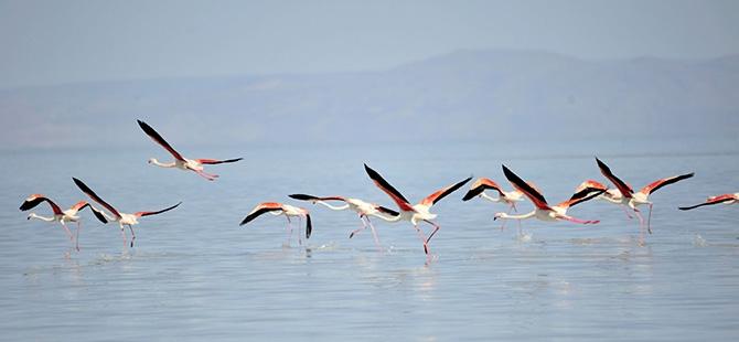 Binlerce flamingo kuluçkadan çıktı 13