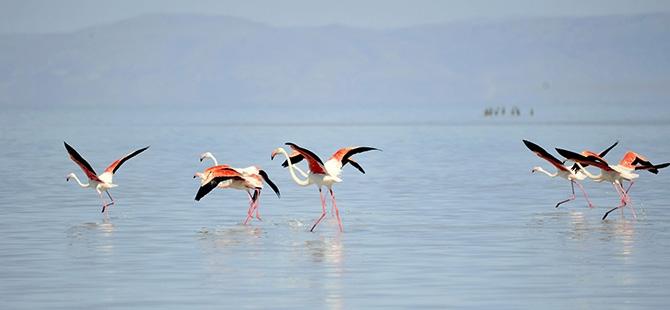 Binlerce flamingo kuluçkadan çıktı 14