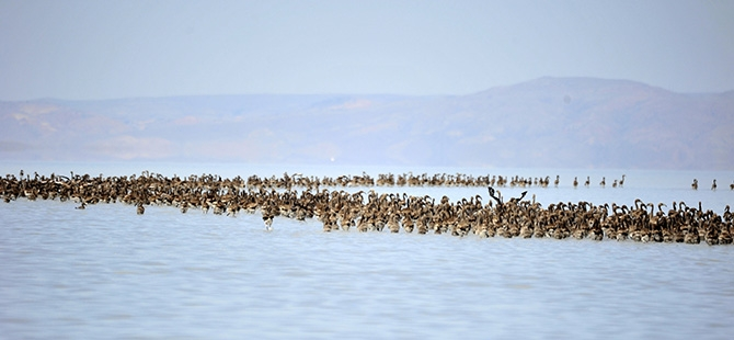 Binlerce flamingo kuluçkadan çıktı 16