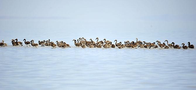 Binlerce flamingo kuluçkadan çıktı 19