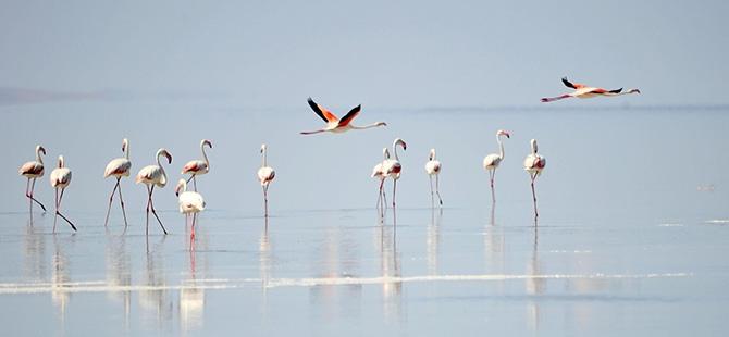 Binlerce flamingo kuluçkadan çıktı 2