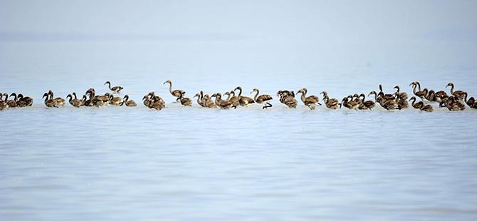 Binlerce flamingo kuluçkadan çıktı 21