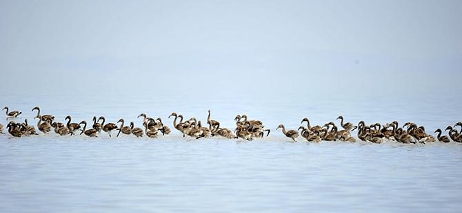 Binlerce flamingo kuluçkadan çıktı 22