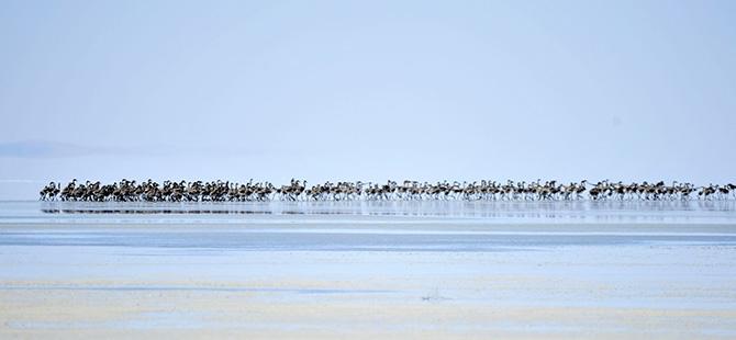 Binlerce flamingo kuluçkadan çıktı 3
