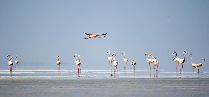 Binlerce flamingo kuluçkadan çıktı 4