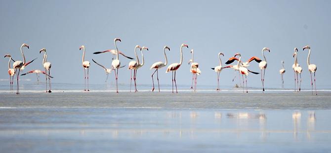 Binlerce flamingo kuluçkadan çıktı 6