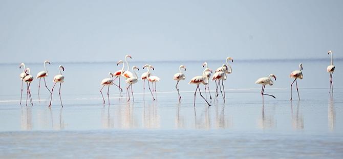 Binlerce flamingo kuluçkadan çıktı 7