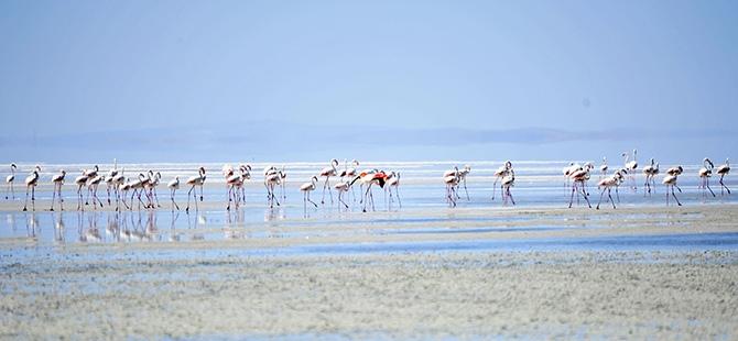 Binlerce flamingo kuluçkadan çıktı 8