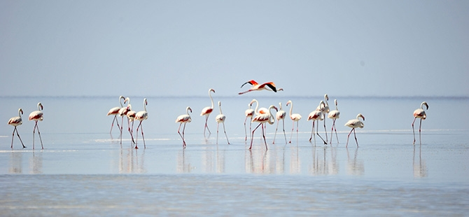 Binlerce flamingo kuluçkadan çıktı 9