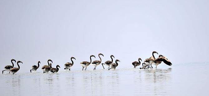Tuz Gölü flamingo mezarlığına dönüyor 17