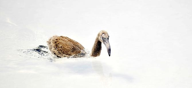 Tuz Gölü flamingo mezarlığına dönüyor 18