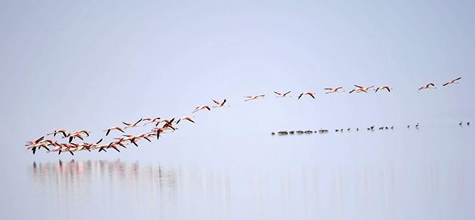 Tuz Gölü flamingo mezarlığına dönüyor 20