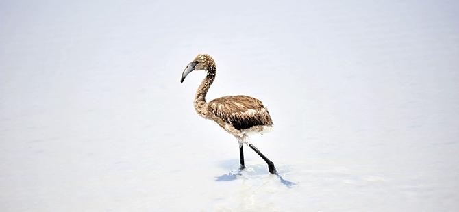Tuz Gölü flamingo mezarlığına dönüyor 22