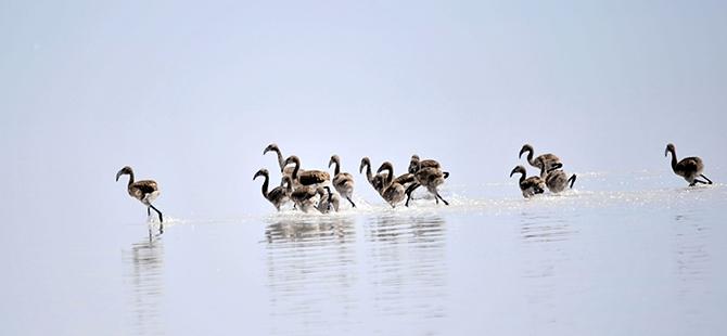 Tuz Gölü flamingo mezarlığına dönüyor 23