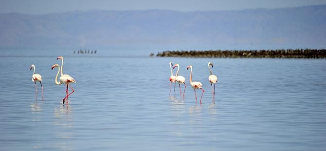 Tuz Gölü flamingo mezarlığına dönüyor 6