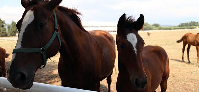 TSK'nın atları nerede yetişiyor? 12