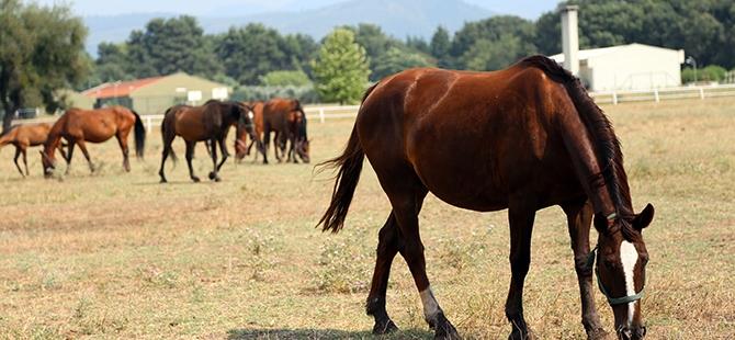 TSK'nın atları nerede yetişiyor? 13