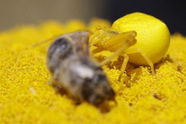 Katil sarı yengeç örümceği 1