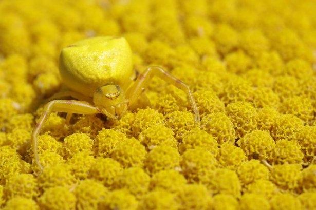 Katil sarı yengeç örümceği 10