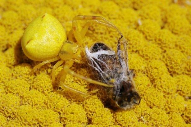 Katil sarı yengeç örümceği 11